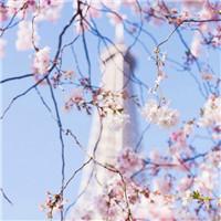今年樱花开的比较晚 清新唯美樱